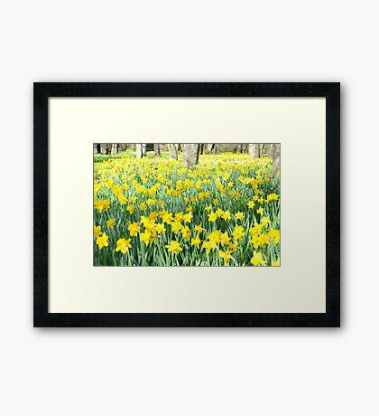 Daffodil wood Framed Print