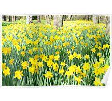 Daffodil wood Poster