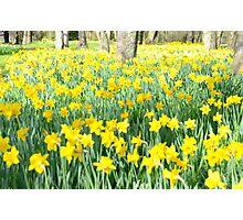 Daffodil wood Photographic Print