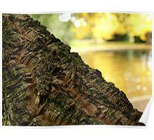 Cork Tree in Autumn the Salmon Ponds, Tasmania Poster