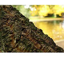 Cork Tree in Autumn the Salmon Ponds, Tasmania Photographic Print