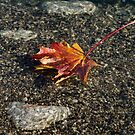 Gently Floating Autumn - Colorful Maple Leaf in the Lake by Georgia Mizuleva