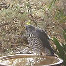 An unwelcome Visitor! Collared Sparrowhawk! Native raptor.  by Rita Blom