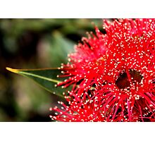 Red Gum Photographic Print