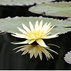 Yellow Water Lily Reflection by Kathleen Brant