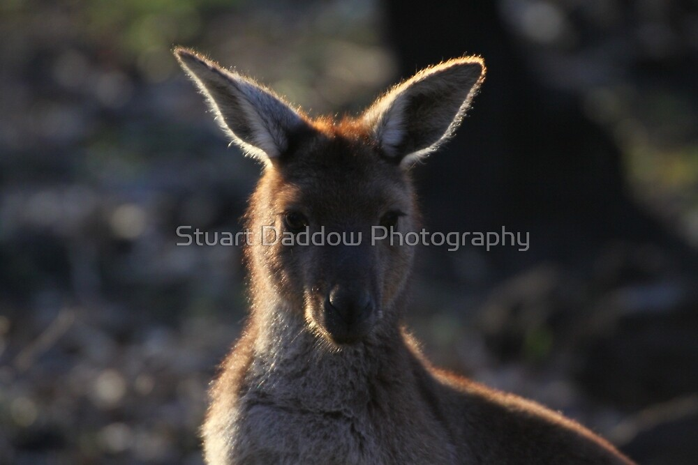 Mt. Lofty Kangaroos Pt.2 by Stuart Daddow Photography