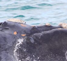 Victor Harbor Southern Right Whales Pt.8 Sticker