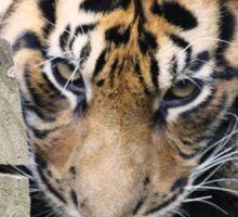 Tired Tiger Cub Sticker