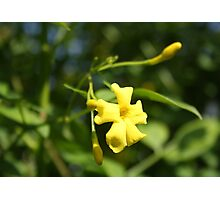 Carolina Jasmine Single Bloom In Sunlight Photographic Print
