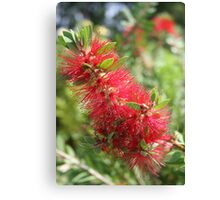 Calliandra Haematocephala Red Powderpuff Canvas Print