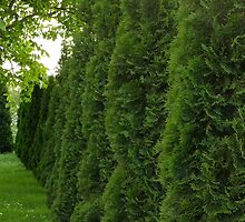 Row of thuja trees background by juras