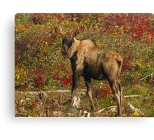 Maine Bull Moose in the fall Canvas Print