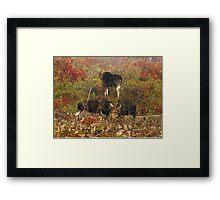 Maine bulls & cow moose Framed Print