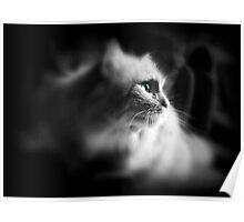 Cat With Blue Eyes Poster