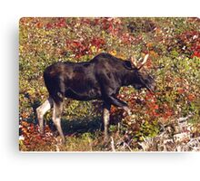 Maine Bull Moose  Canvas Print