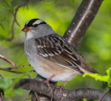 White-Crowned Sparrow Sticker
