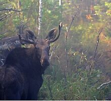 Maine Bull Moose in the woods at dawn by Enola-Gay Wagner