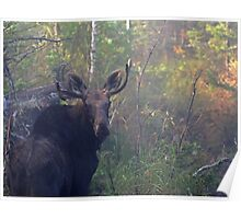 Maine Bull Moose in the woods at dawn Poster