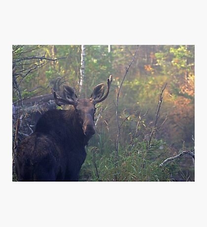 Maine Bull Moose in the woods at dawn Photographic Print