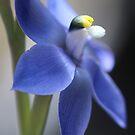 Thelymitra macrophylla by kalaryder