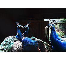 Love in Peacocks Photographic Print