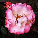 Pink Rose by Roz McQuillan