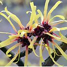 Witch Hazel (Hamamelis sp.) in flower by Chris Monks