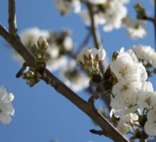 Cherry Blossom Branches Against Blue Sky Sticker