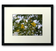 Shaded Carolina Jessamine Framed Print