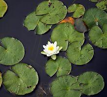 White lily  by ONiONAstudio