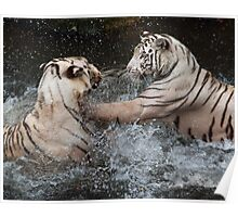 White Tigers Play Fighting Poster