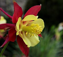 Columbine by Judy Vincent