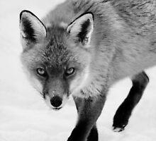 Fox on the Prowl by Nigel Tinlin