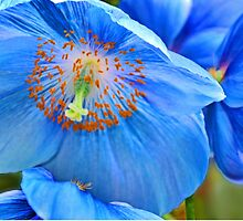 Blue Himalaya Poppy by cclaude