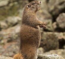 Marmot Alert by William C. Gladish
