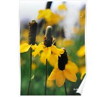 Yellow Mexican Hats Poster