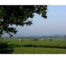 Cows in the Mist Photographic Print