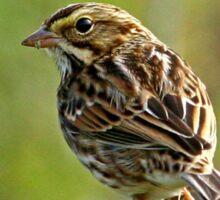 Savannah Sparrow Sticker