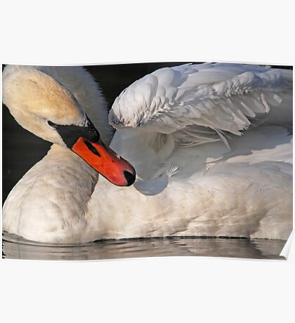 Mute Swan Close Up Poster