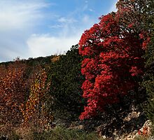 Blazing Maple Tree by Judy Vincent