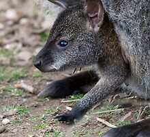Joey In a Pouch..... by Robert Taylor