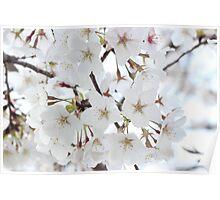 White Japanese Cherry Blossom Poster