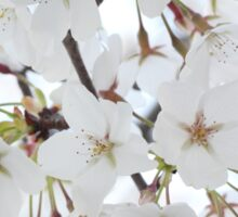 White Japanese Cherry Blossom Sticker