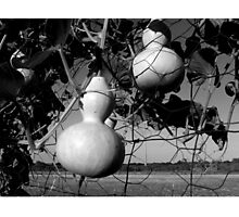 GOURDS IN BLACK AND WHITE Photographic Print