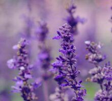 Lovely Lavender Sticker