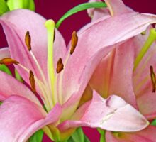Two pink Lilies Sticker