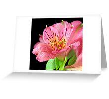A closeup of Altroemeria Lilly Greeting Card
