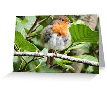 Fluffy Robin Red Breast  Greeting Card
