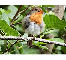 Fluffy Robin Red Breast  Photographic Print