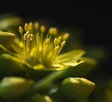 Aeonium Arboreum (Crassulaceae) by Sharon Wills